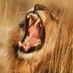 Как поймать в пустыне льва и поместить его в клетку