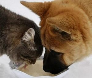 Как пьют воду кошки и собаки.