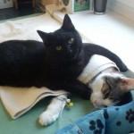 Кот-медбрат помогает лечить животных